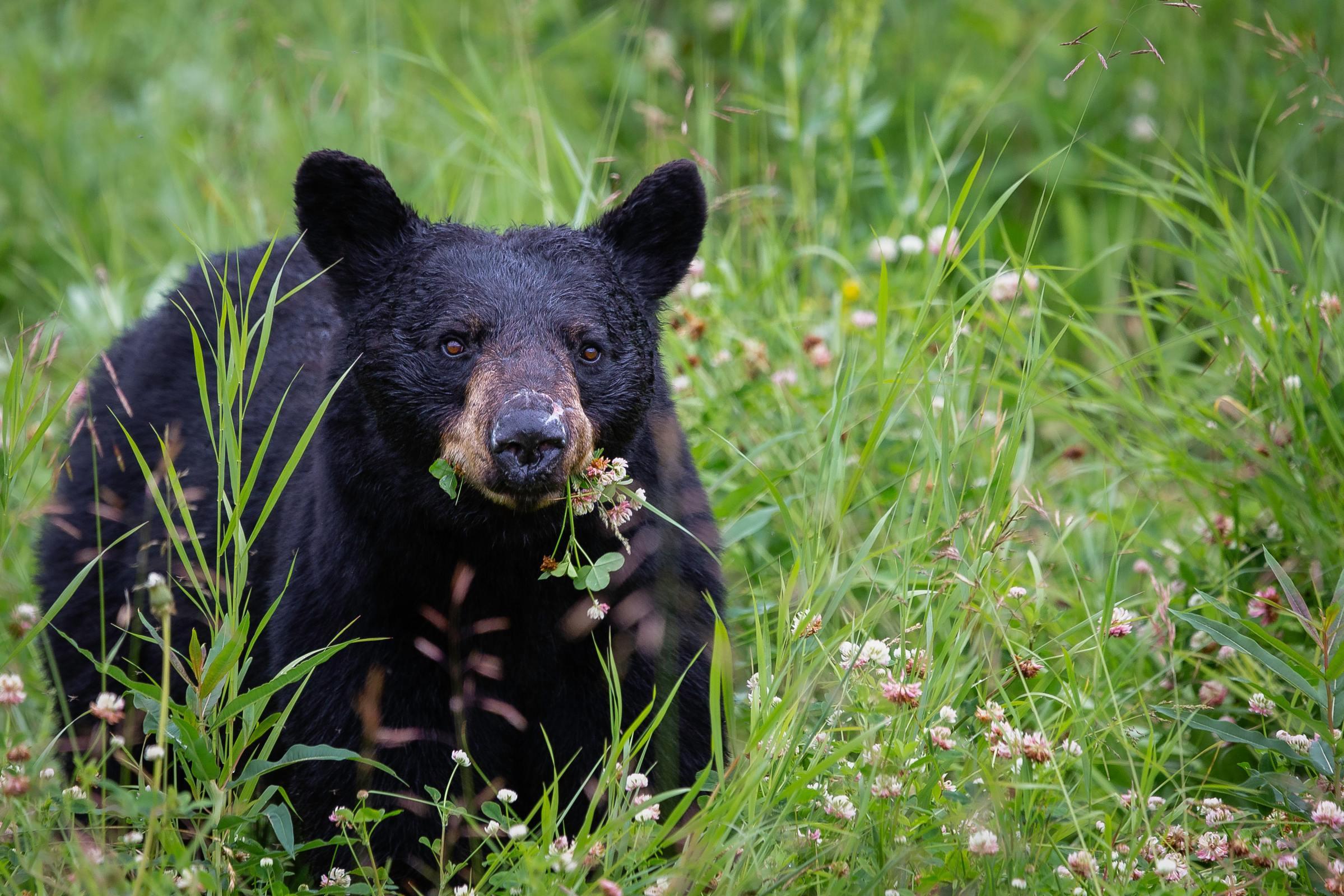 A bear eats grass in a field.